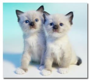 ragdoll-cats